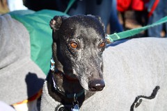 Greyhound Adventures at Horn Pond, Woburn MA, Dec 20th 2015
