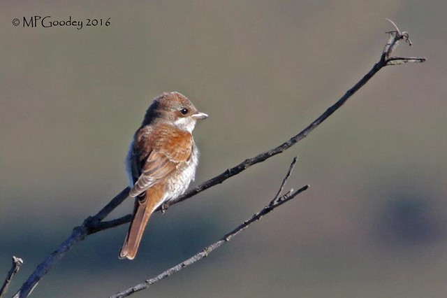 Red-backed Shrike (M.Goodey)