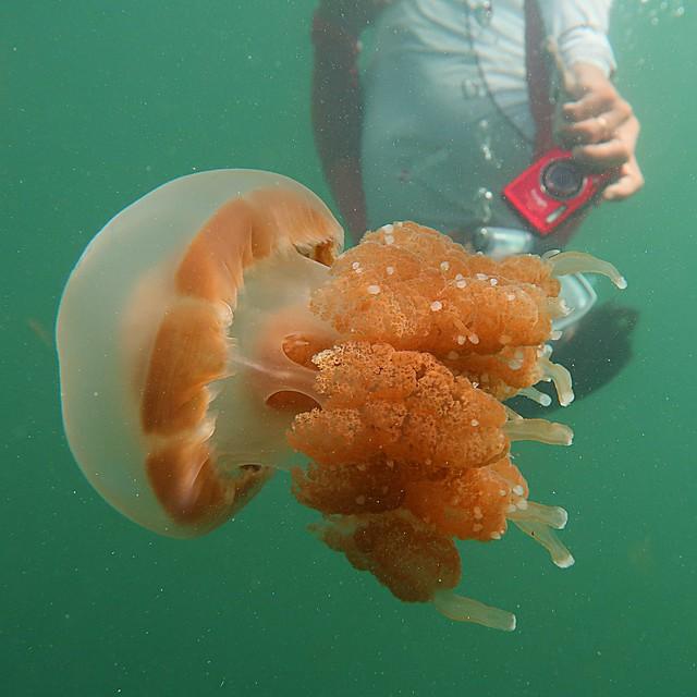 Swimming with stingless jellyfish