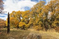 Golden Oaks