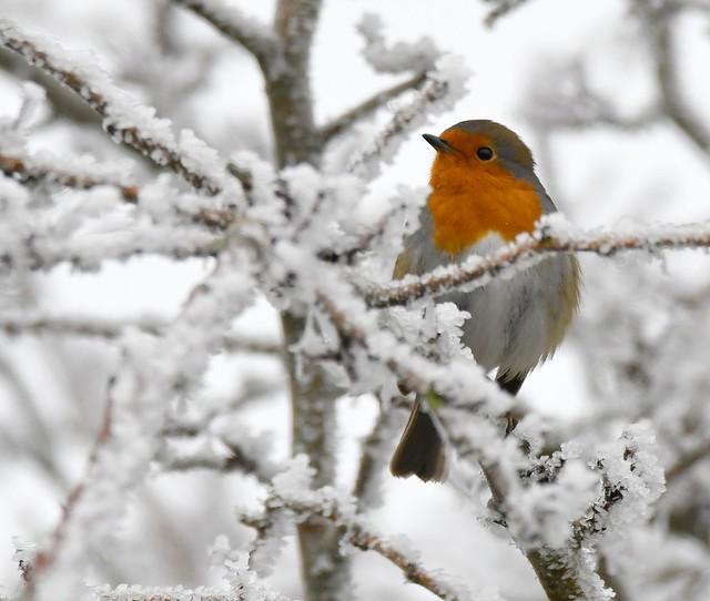 Frosty Robin!