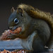 Tastes Like Corn on the Cob - Red Squirrel Enjoying a Pine Cone - 7050b+ by teagden