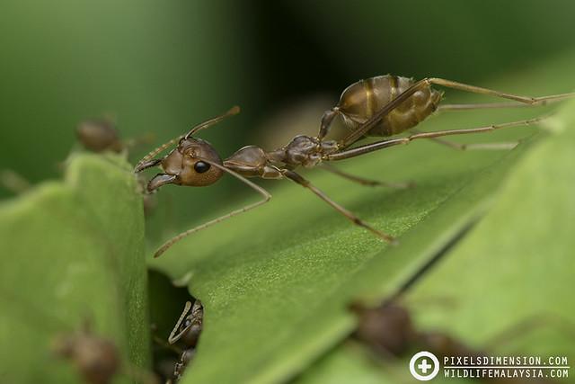 Weaver ant holding on- Oecophylla smaragdina