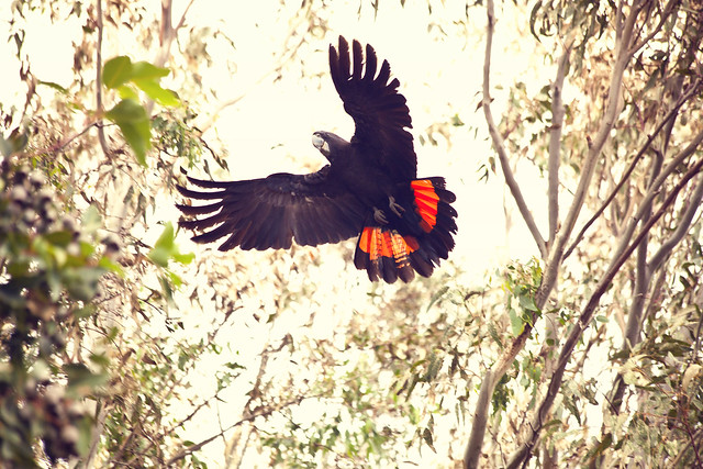 Red tail Black Cockatoo, Perth Western Australia