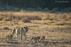 Family of Lions by MeganKarine