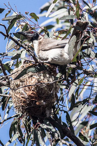 Noisy Friarbird builds nest