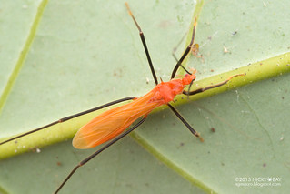 Assassin bug? (Reduviidae) - DSC_2783