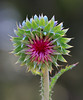 Flower bud of the Musk Thistle - 1 of 3 - beginning to open by Alan Vernon.