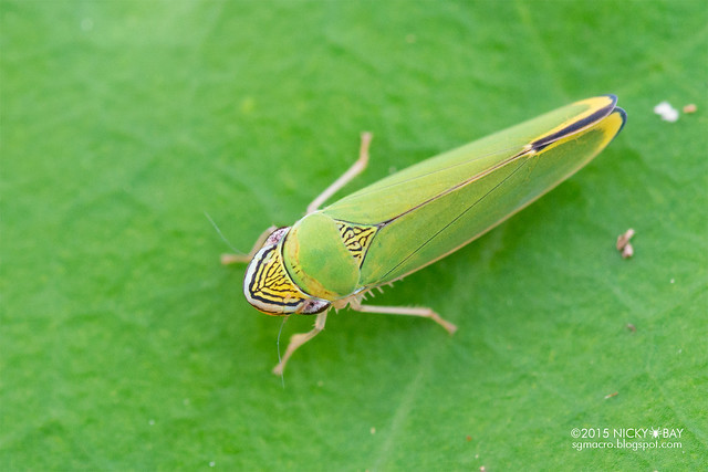 Leafhopper (Cicadellidae) - DSC_9312