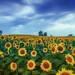 Sunflower Hill by Jonathan Tasler