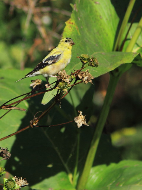 American Goldfinch molting 20150921