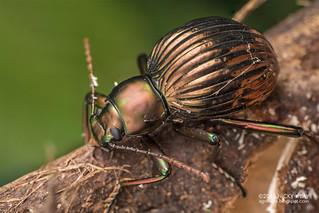 Darkling beetle (Hegemona sp.) - DSC_0421
