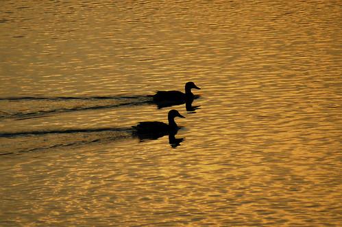 sunset reflection water birds silhouette closeup river golden evening ducks ripples tones