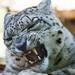 Snow Leopard by Sandra Wildeman