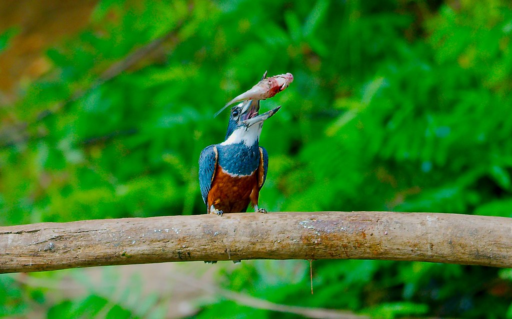 08_Kingfisher_16