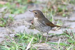 红尾歌鸲Luscinia sibilans,Rufous-tailed Robin。