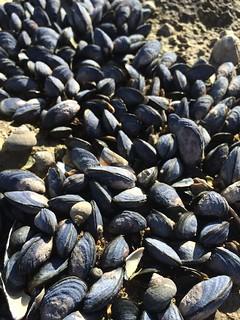 mussels, seashells