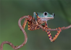 Tiger legged Monkey Frog