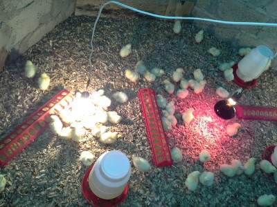 Picture 17 – chicks