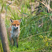 Mr Fox comes to Visit