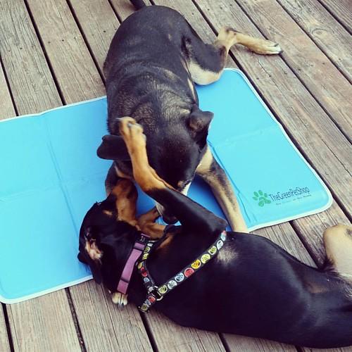Yes, it's 92 degrees. Yes, we're trying to do a photo shoot for upcoming reviews. No, they're not cooperating.  #ilovemydogs #dogstragram #instadog #seniordog #puppygram #puppyplaytime #dogswrestling #dogsplaying #rescueddogsofinstagram #coonhoundmix #dob