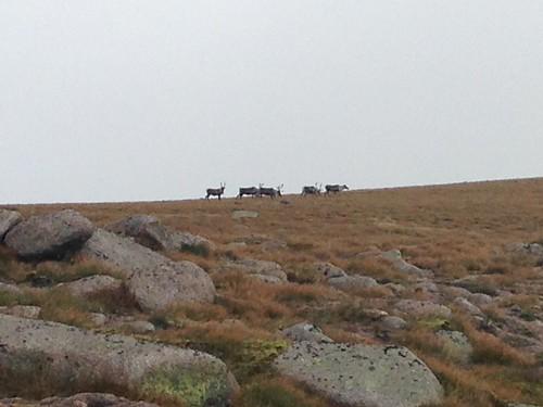 Reindeer on Cairngorm