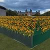 :sunflower::sunflower:Sunflower field :sunflower:at the :sunflower:Museumplein :sunflower::sunflower::sunflower:
