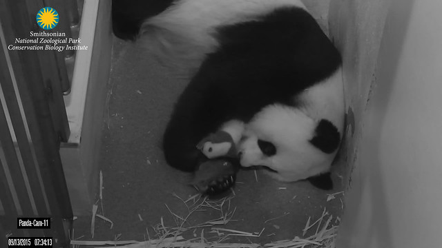 Mei Xiang and her cub Sept. 13, 2015