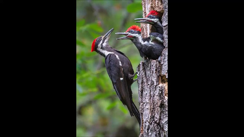 Bruce's Pileated Woodpecker Movie