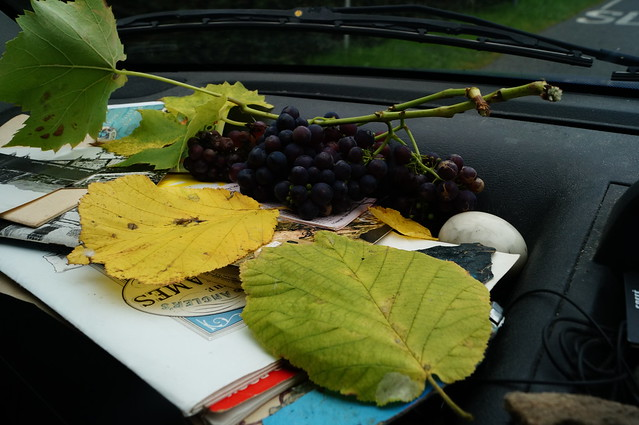 Real English garden grown grapes !