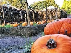 Pumpkins - #mirachehalloween #mirabilandia 31 ottobre 2015
