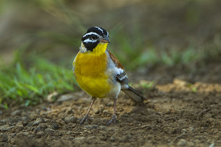 Golden-breasted Bunting - Kenya_S4E8725