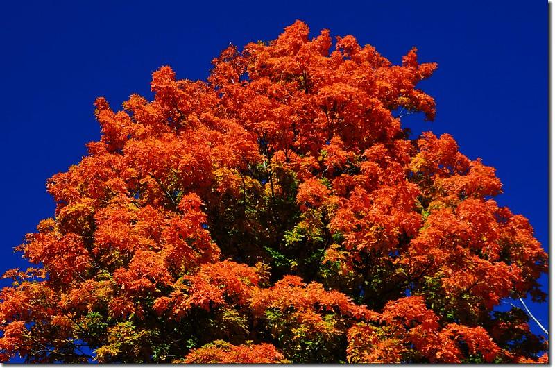 Sugar maple leaves (10)