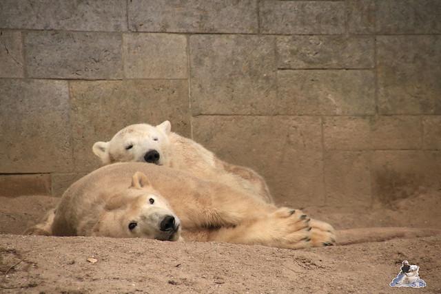 Eisbär Fiete im Zoo Rostock 05.12.2015  209