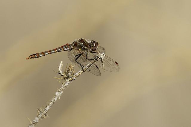 Dragonfly (X68_8286-1)