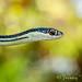 Western Ribbon Snake by Jeremy Schumacher