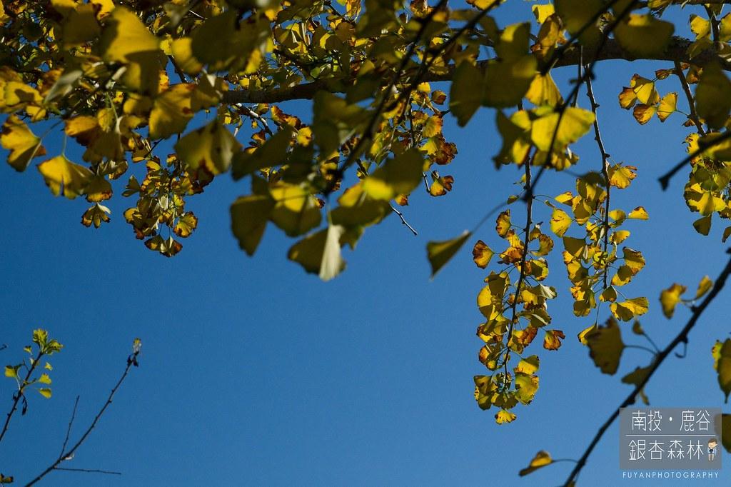 銀杏森林18