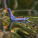Common Moorehen by FotoGrazio