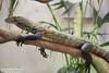 Komodo Dragon by GeorgiaDawson