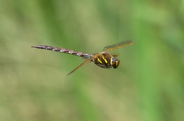 male brown hawker 475 - 1