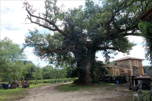 Old oak tree - Chêne remarquable (3/4)