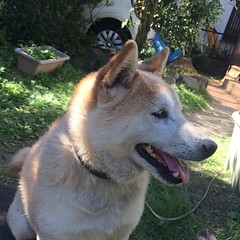 dog breed, animal, akita inu, west siberian laika, akita, dog, czechoslovakian wolfdog, shiba inu, pet, norwegian buhund, shikoku, east siberian laika, greenland dog, finnish spitz, korean jindo dog, carnivoran,