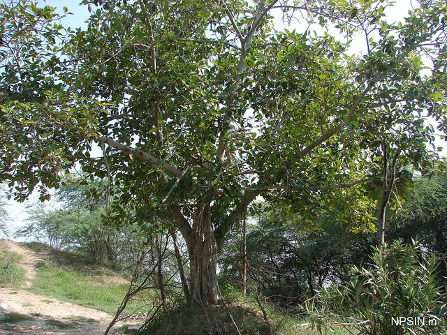 Banyan Tree(वट वृक्ष, बरगद)