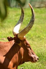 Bos taurus wuisi DT [CO Pereira Zoo] (3)