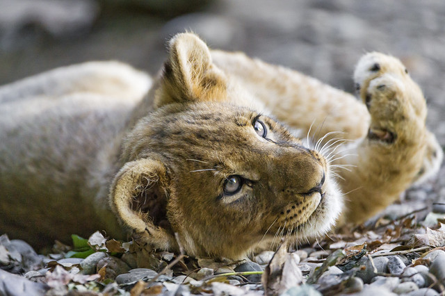 Very cute lying lion cub