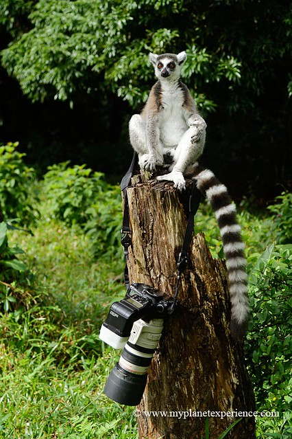 The lemur photographer - Madagascar