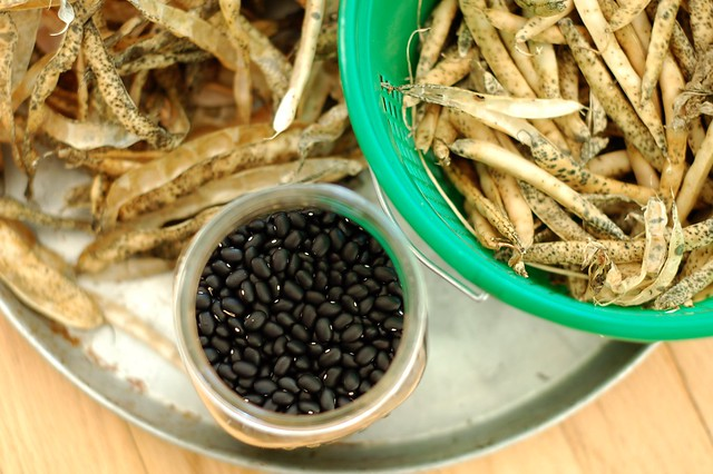 Shelling dried black beans to store by Eve Fox, the Garden of Eating, copyright 2015