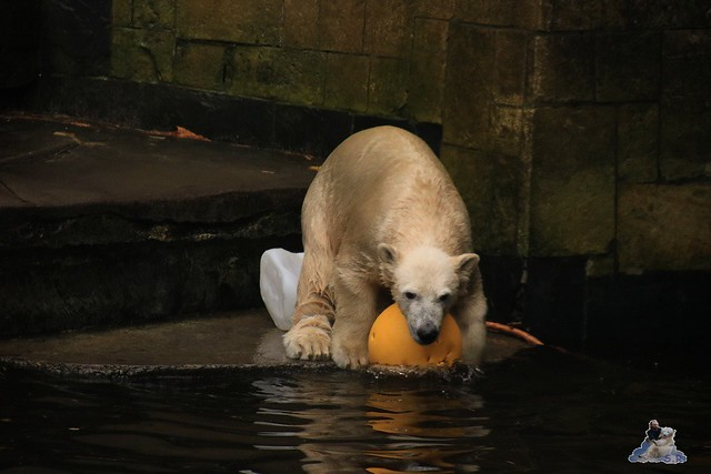 Eisbär Fiete im Zoo Rostock 17.10.2015  0247