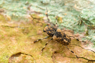 Fungus weevil (Anthribidae) - DSC_5384