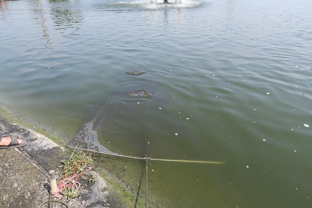 高雄市湖內區綠水塘無毒蝦 (46)